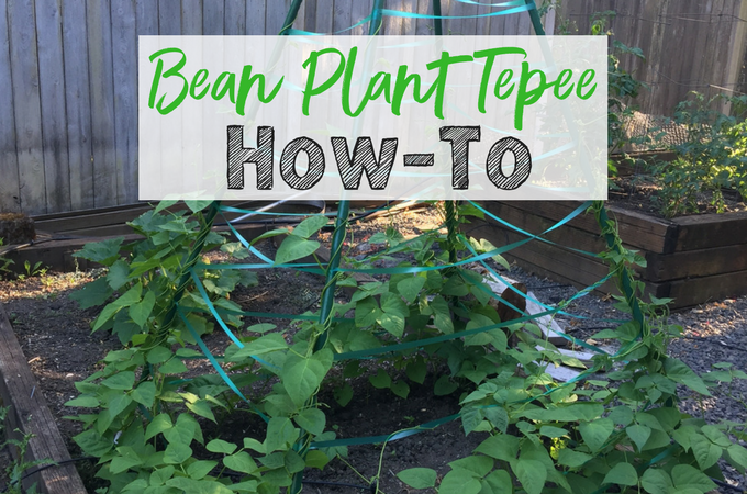 How to Make a Bean Plant Tepee